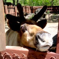 Lupa Zoo In Ludlow MA Pictures – A Kid Friendly Thing To Do Review